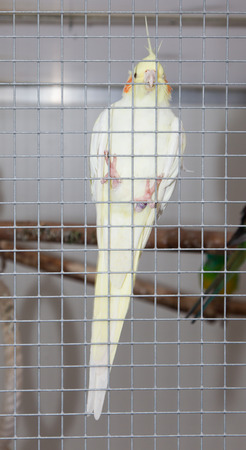 bipedal: White bird in a cage, hanging in the fence