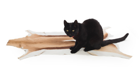 pet valuable: Black Cat sitting on springbok animal fur, isolated on white