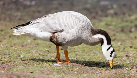 searching for: Bar-headed goose (Anser indicus) searching for food