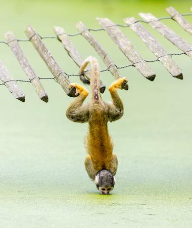 sciureus: Squirrel monkey (Saimiri) - drinking water up-side down