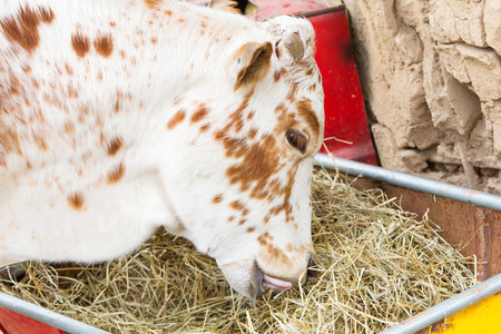 Close up of brown and white cow eating hay Stock Photo