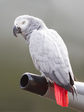 erithacus: African Grey Parrot (Psittacus erithacus) sitting on the wing of a Spitfire
