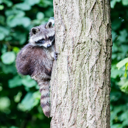nostrils: Adult racoon climbing a large tree, selective focus