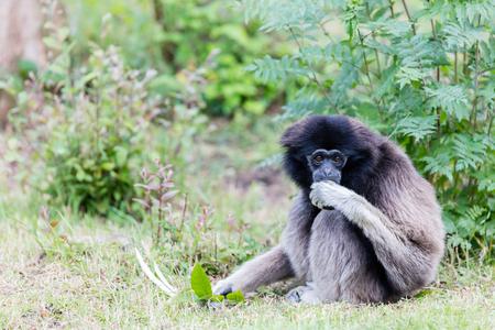 handed gibbon: Adult white handed gibbon eating green grass