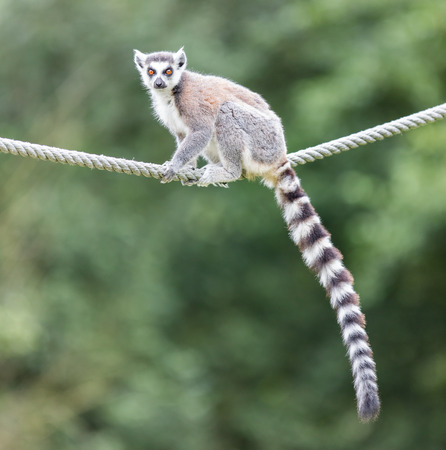 monkies: Ring-tailed lemur (Lemur catta) sitting on a rope