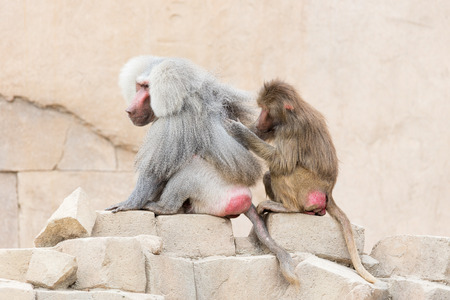 revere: Female adult macaque monkey grooming an adult macaque monkey Stock Photo