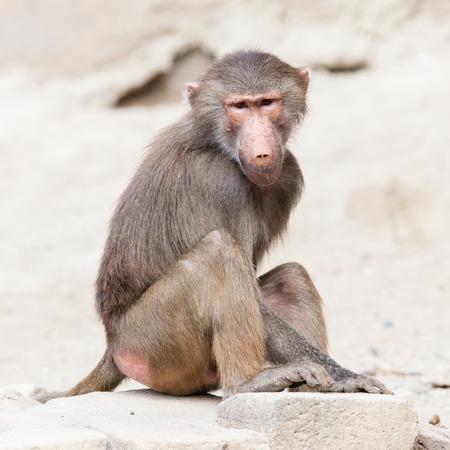 antics: Female macaque monkey resting in its natural habitat