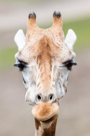 Adult giraffe (Giraffa camelopardalis) close up, selective focus