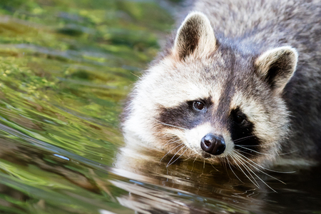 Adult racoon washing at the waterfront, selective focus