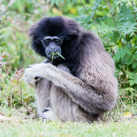 Adult white handed gibbon eating green grass