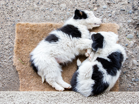 expressionless: Two Border Collie puppies sleeping on a farm