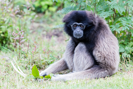 handed: Adult white handed gibbon looking pretty bored