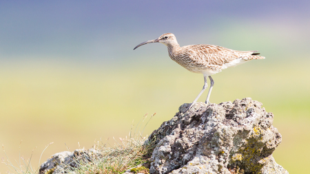 natural habitat: Whimbrel in its natural habitat