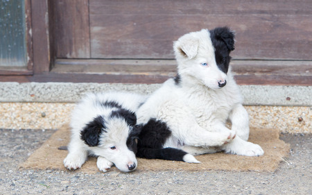 expressionless: Two Border Collie puppies sleeping on a farm, one with blue eye