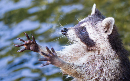 Adult racoon begging for food Stock Photo