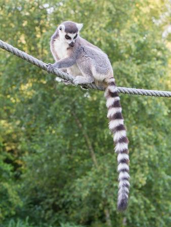 monkies: Ring-tailed lemur (Lemur catta) sitting on a rope
