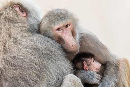 close together: Family of baboons sitting very close together