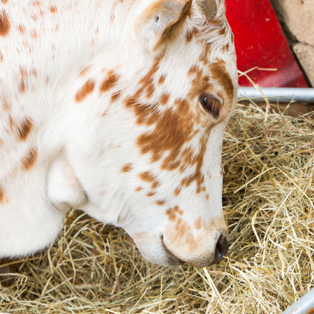 farmlife: Close up of brown and white cow eating hay Stock Photo