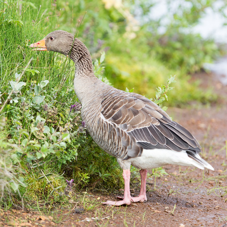 wildfowl: Greylag Goose (Anser Anser) eating in a national park in Iceland