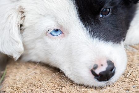 border collie puppy: Border Collie puppy on a farm, one blue eye