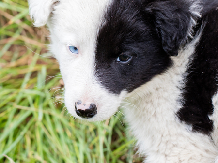 expressionless: Border Collie puppy on a farm, one blue eye