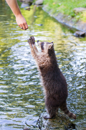 racoon: Adult racoon begging for food Stock Photo