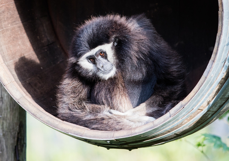handed: Adult white handed gibbon sitting in a barrel