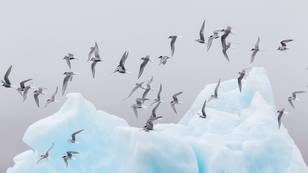 Birdlife in Jokulsarlon, a large glacial lake in southeast Iceland Stock Photo