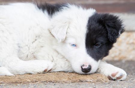 border collie puppy: Border Collie puppy Stock Photo