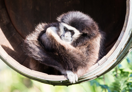 Adult white handed gibbon sitting in a barrel