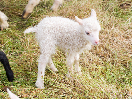 cuddly baby: Little newborn lamb standing on the grass - Iceland Stock Photo