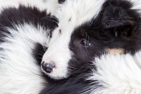 border collie puppy: Two Border Collie puppy