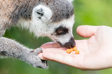 Lemur is eating special food from human hand - Selective focus