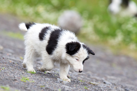 brown  eyed: Small Border Collie puppy on a farm, brown eyed