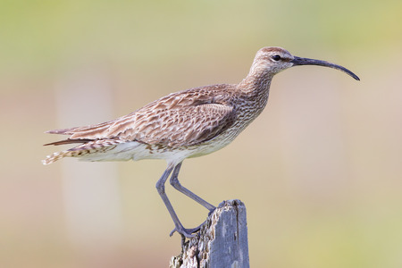 Whimbrel standing on a wooden pole Stock Photo