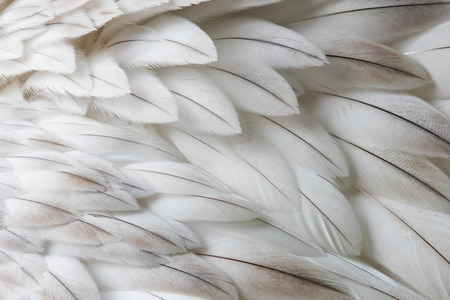 White fluffy feather closeup - Selective focus on some feathers