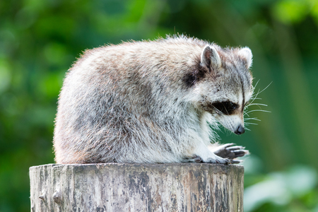 recon: Adult racoon on a tree looking down