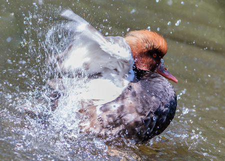 crested duck: Red-crested Pochard swimming in a lake, the Netherlands