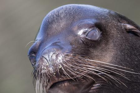 Sea lion closeup - Selective focus on the eye Stock Photo