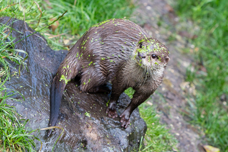 humor: Humor: Small claw otter covered in duckweed