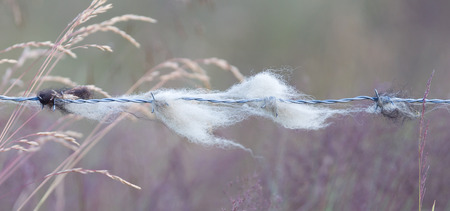 hair tuft: Sheep wool snagged on barbed wire - Iceland