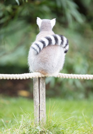 Ring-tailed lemur (Lemur catta) relaxing on a pole Stock Photo