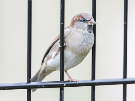 passer by: House Sparrow on old fence, Passer domesticus