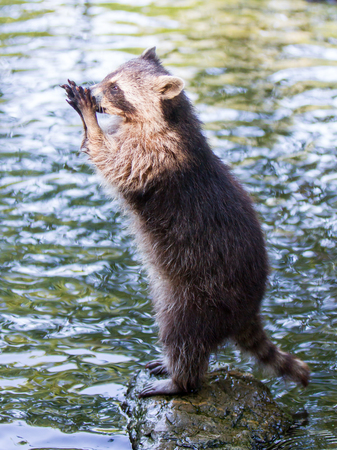 racoon: Adult racoon begging for food, water background