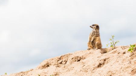 Suricata suricatta (Meerkat) guarding under a grey sky