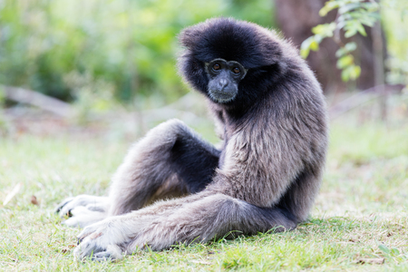 handed gibbon: Adult white handed gibbon looking pretty bored