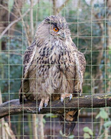 Portrait of a large eurasian eagle-owl, close-up picture