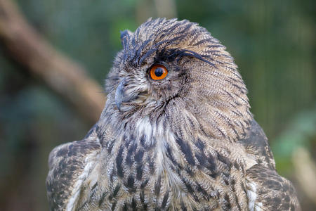 a large bird of prey: Portrait of a large eurasian eagle-owl, close-up picture