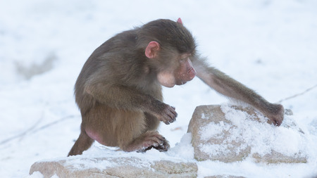 antics: Macaque monkey searching food in its natural habitat