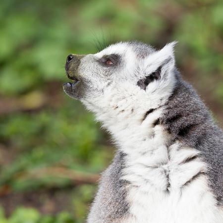 Sunbathing ring-tailed lemur in captivity (Leeuwarden, Holland)